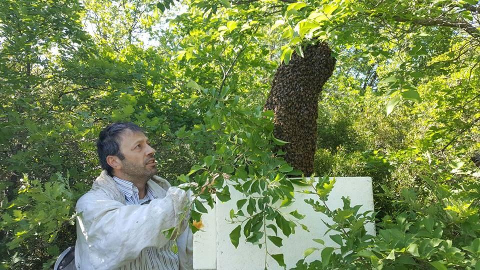 Un'altra tappa per il nostro Calendario dell'Apicoltore, questa volta con la bella foto del nostro apicoltore Antonio Carrelli: maggio è il periodo più intenso perché le api sciamano, cioè abbandonano la loro arnia per andare a cercare un altro luogo dove vivere e moltiplicarsi. #iltempodelmiele