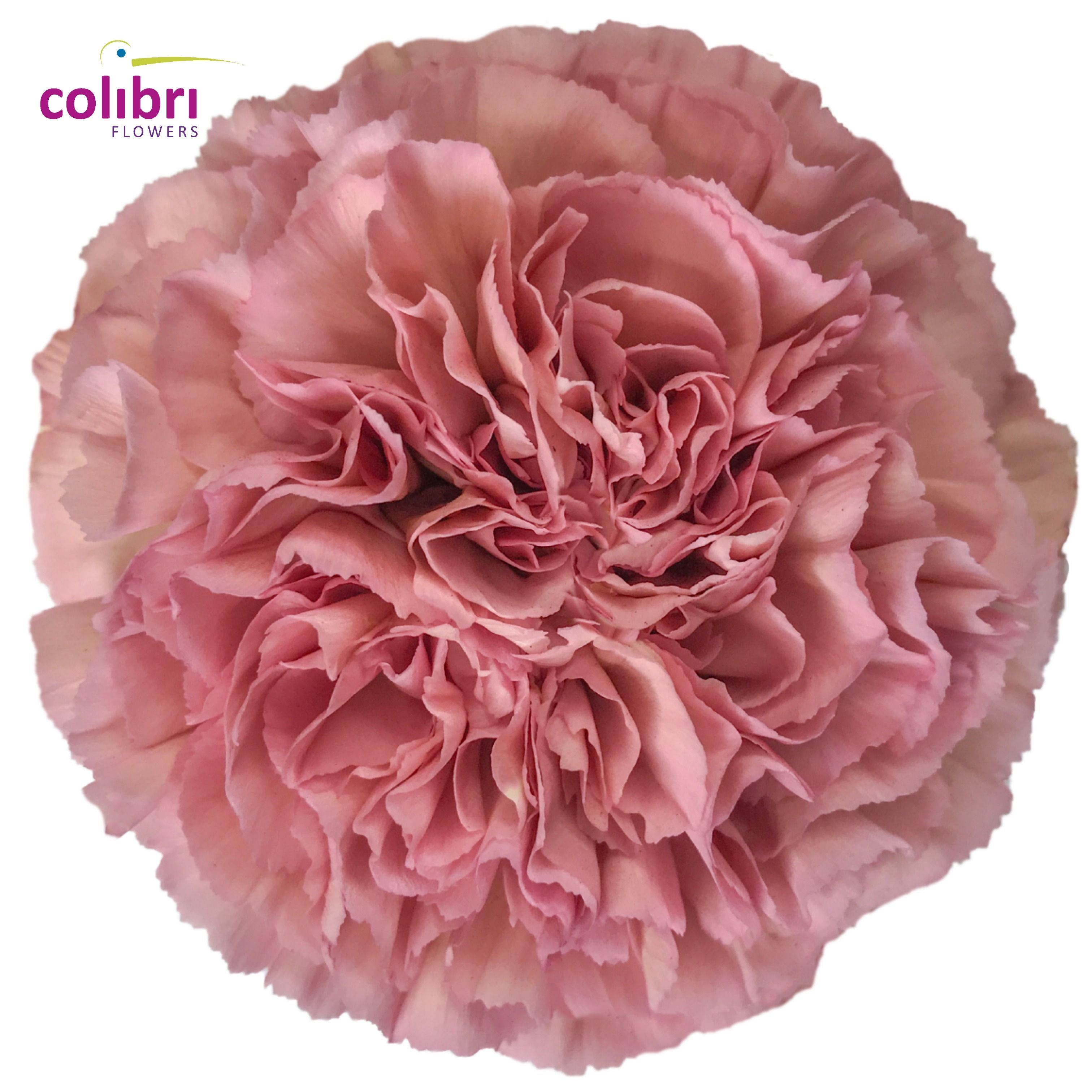 Pin On Carnations