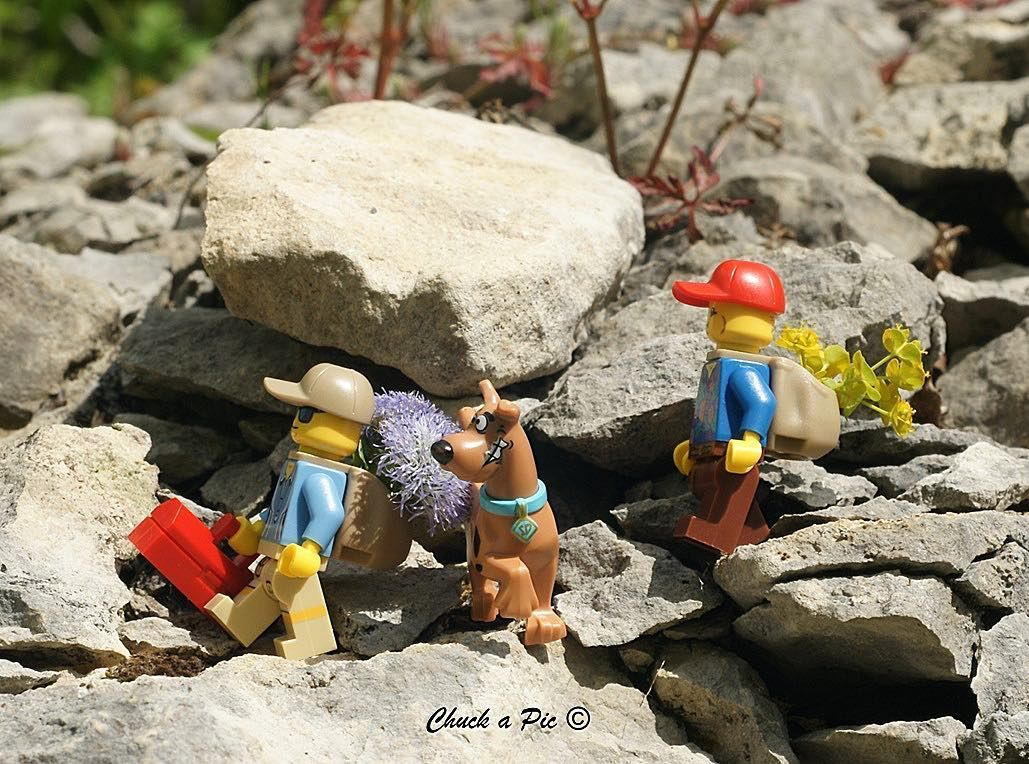 Is it still far? #hiking #hike #flower #euphorbia #globularia #nature #plants #stone #scoobydoo #lego #legostagram #legominifigures #legophotography #toys #toyphotography #minifigures #dog by chuck_a_pic