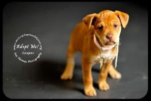 Cooper Boxer Beagle Mix From Midwest Animal Rescue Services