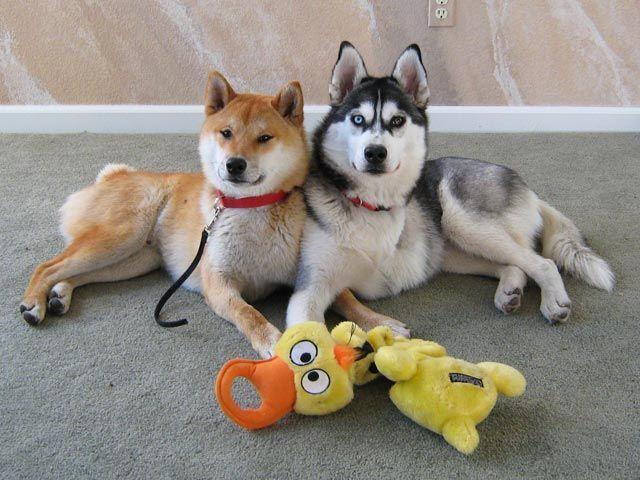 Shiba Inu And Siberian Husky Lying Next To Each Other In A Kodak