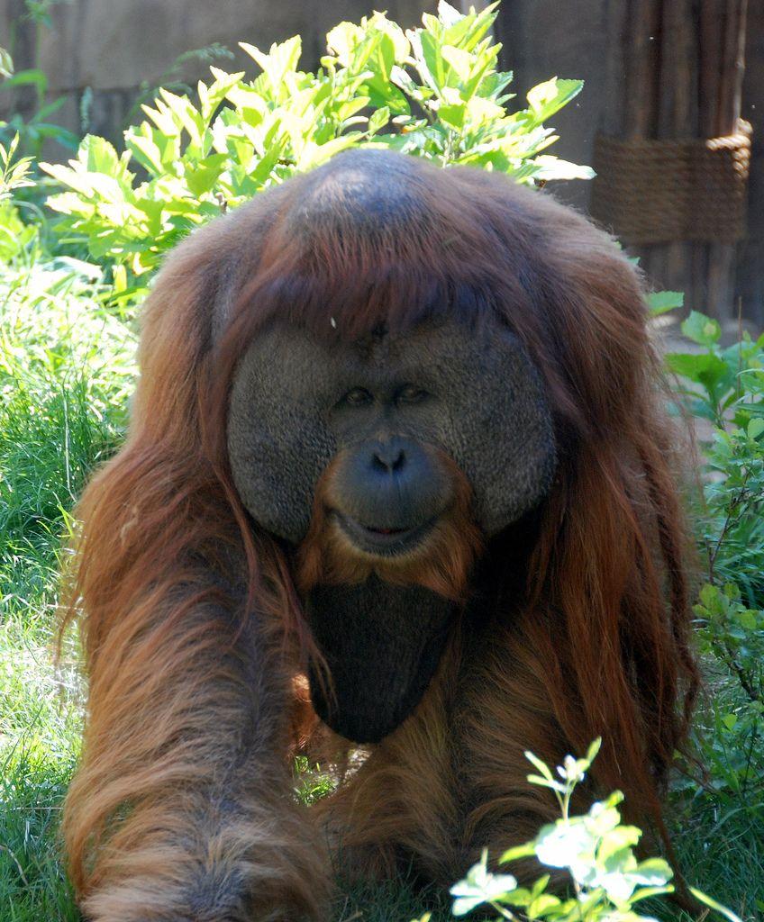 Sumatran Orangutan (Pongo abelii) | Flickr - Photo Sharing!