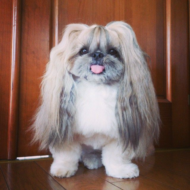 This Derpy Dog Has The Most Fabulous Hair On Instagram Chinese