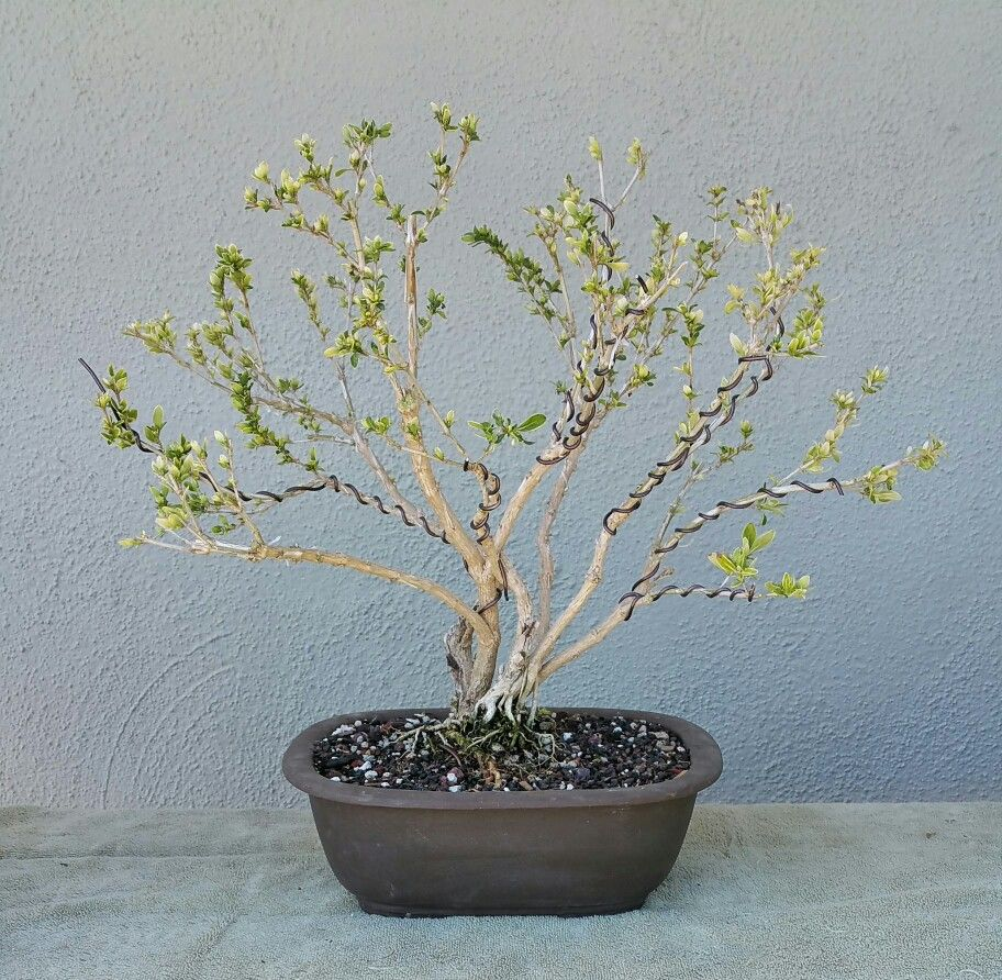 picture 3 i did some aggressive pruning on my serissa pre bonsai rh pinterest co uk wire ficus bonsai Bougainvillea Bonsai