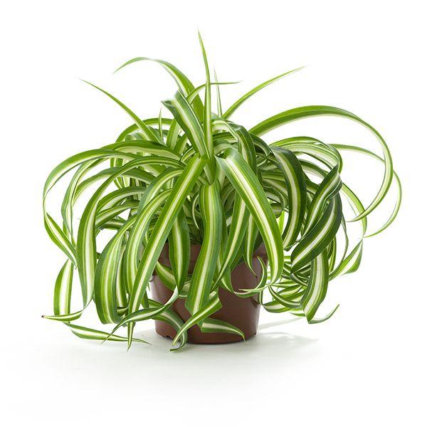 chlorophytum comosum plante d polluante elimine le. Black Bedroom Furniture Sets. Home Design Ideas
