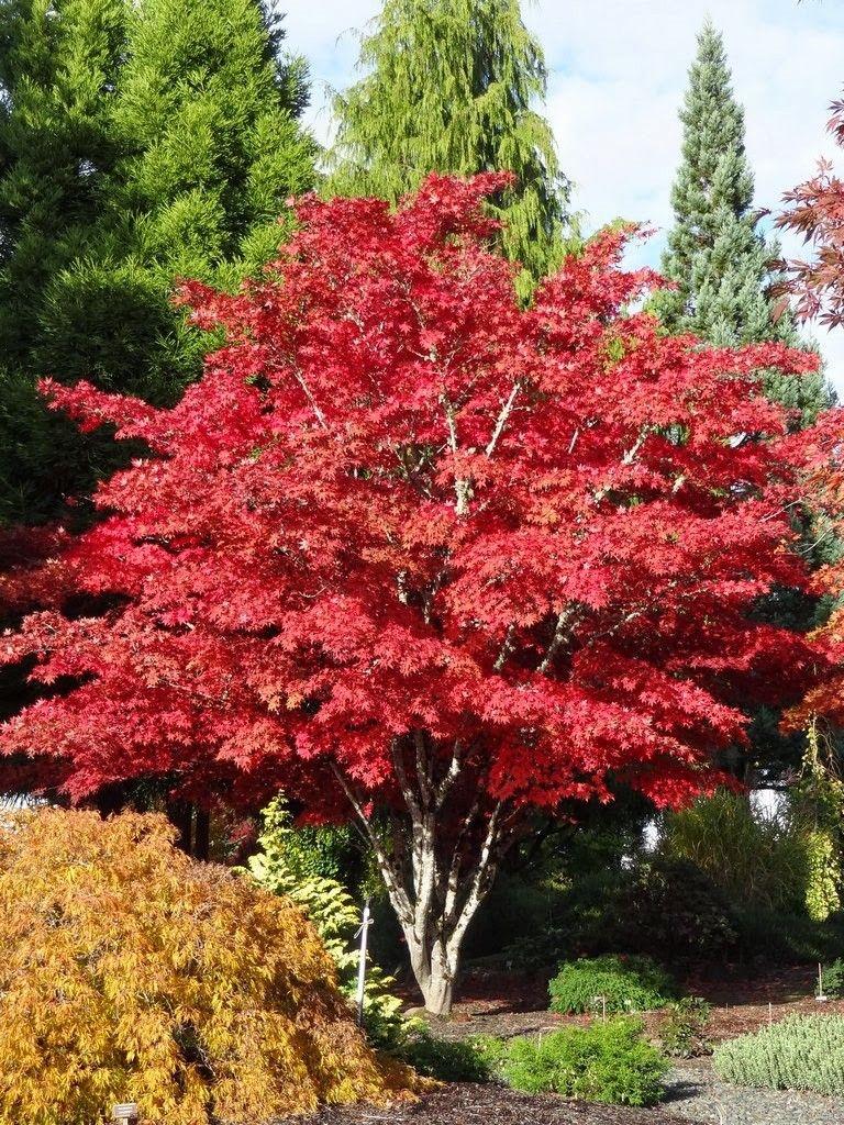 Shojo Nomura Japanese Maple Japanese Maples Acer Palmatum