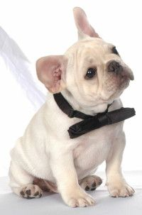 Florida's Own 'Motif' French Bulldogs South Florida breeder registered with FBCA