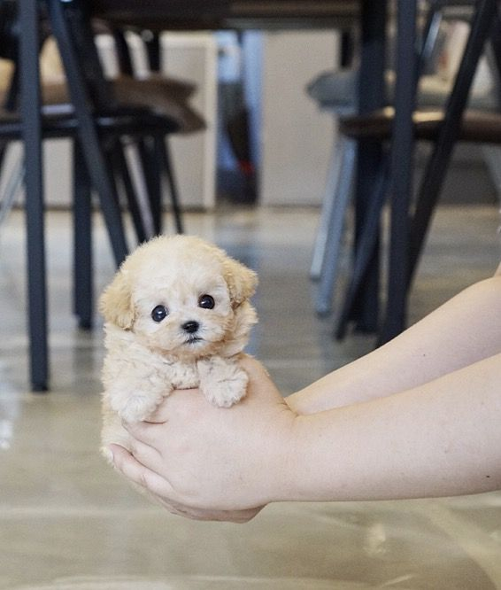 Peanut Micro Teacup Cream Poodle Cute Dogs Tea Cup Poodle