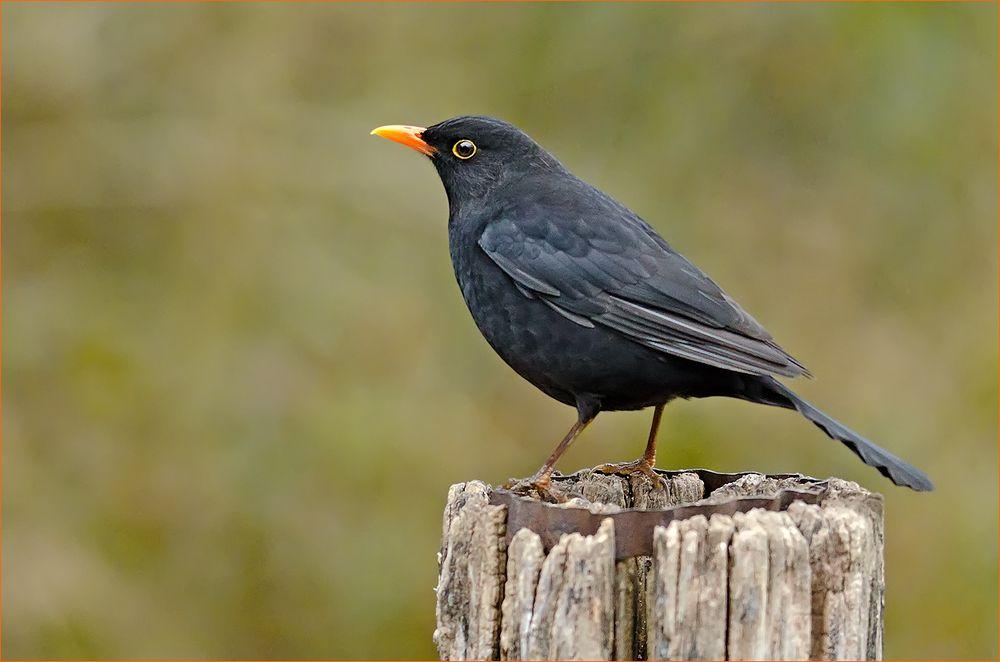 Pin Von Nana Skarda Auf Ravens Crows And Other Black Birds