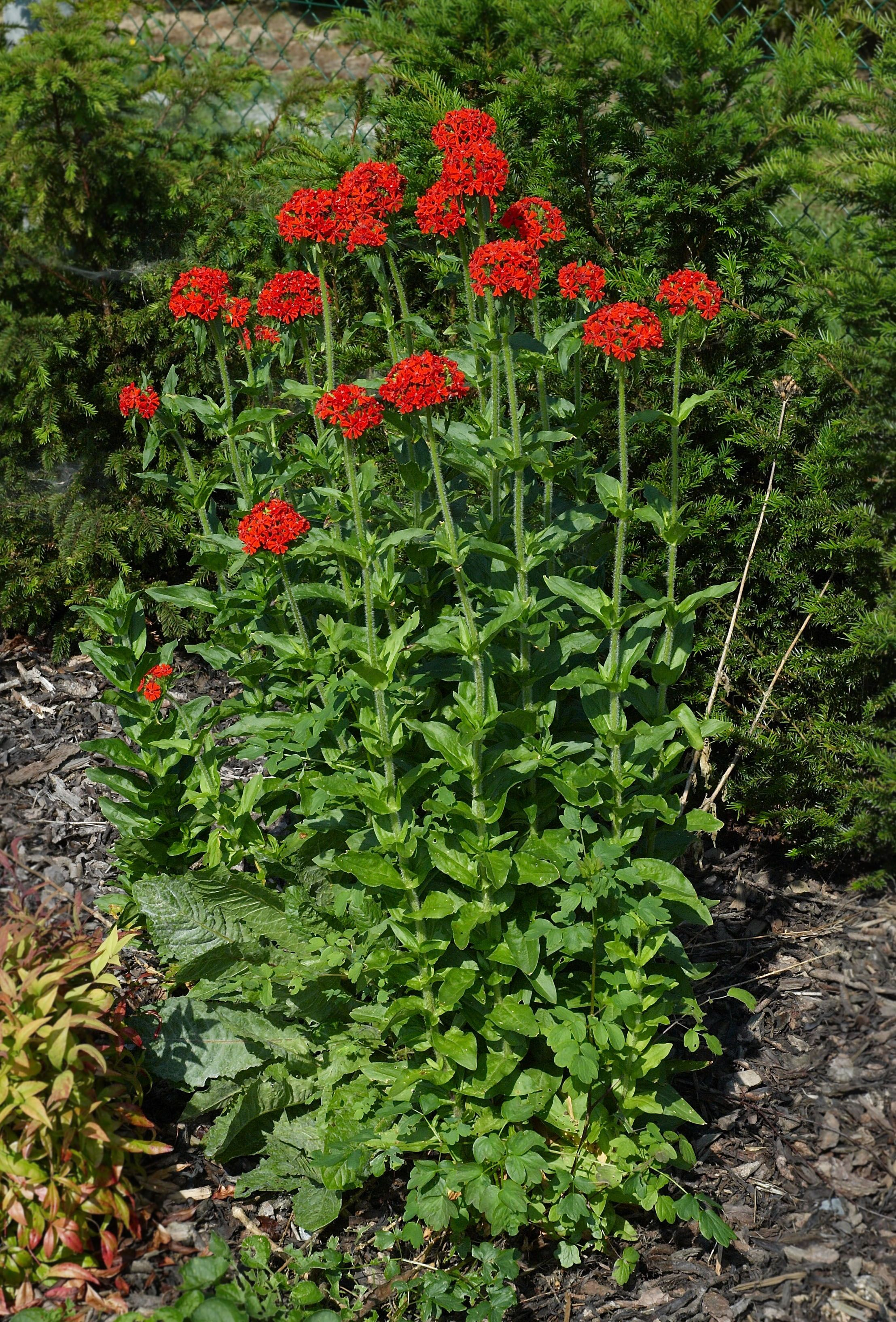 lychnis chalcedonica Google Search (With images