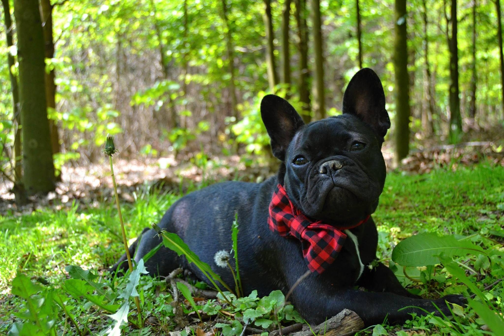 Fotka uživatele Markéta Borská. French Bulldog Cute