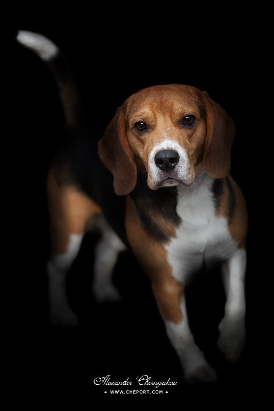 Portrait Of Beagle Puppy Isolated On Black Background Cute