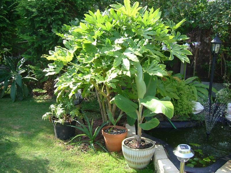 Fatsia Japonica - det er sådan en jeg har i mindre version (altid smart at pinne og noterer latinske plantenavne, når nu man/jeg smider skiltene ud)