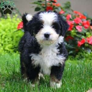 New Arrivals See New Puppies Greenfield Puppies Greenfield Puppies Miniature Puppies Bernedoodle