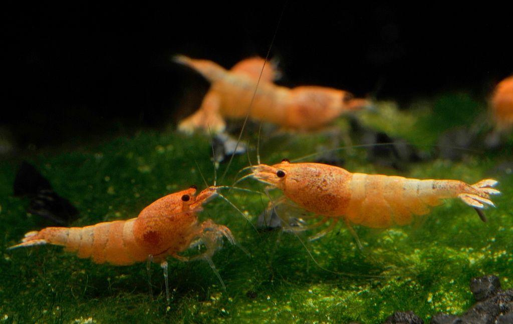bubba gump shrimp wiki