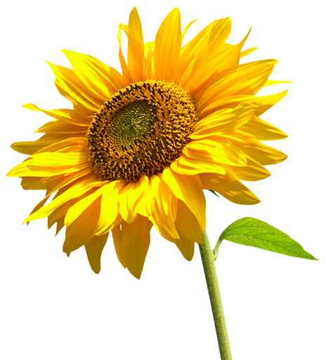 Sunflower Helianthus Annuus Plant Care Guide Plants Plant Care Rose Plant Care