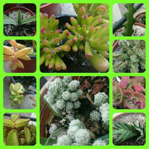Cactus y suculentas en mi hogar. Cultivo propio.