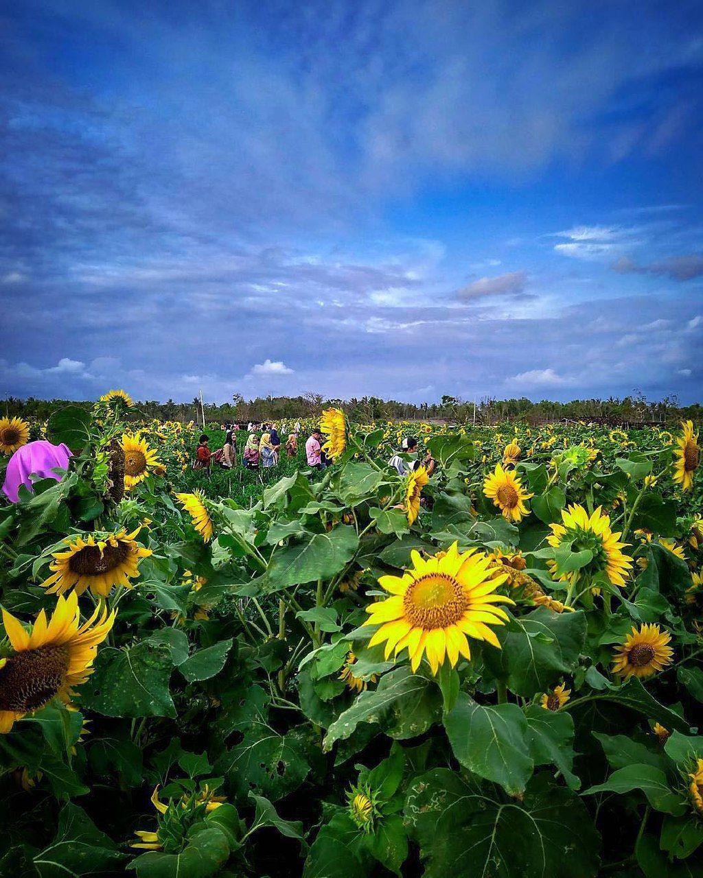 Beautiful view of the sunflower field on Samas Beach,
