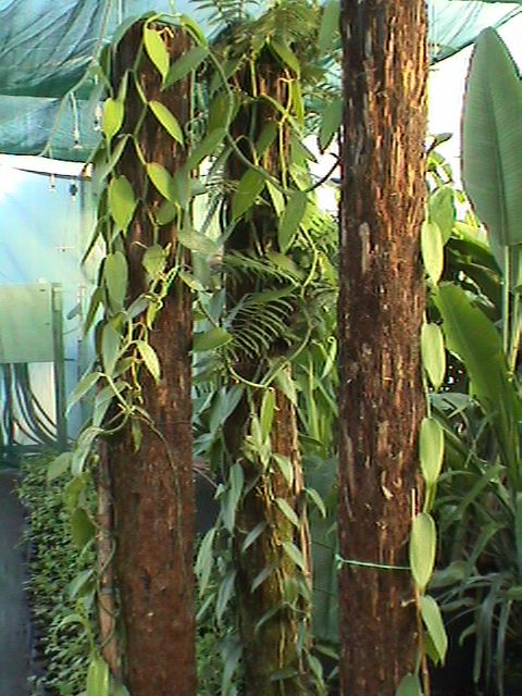 Grow Vanilla It S A Tropical Vine And Can Even Grow Indoors Grow Vanilla Beans Vanilla Plant Growing Indoors