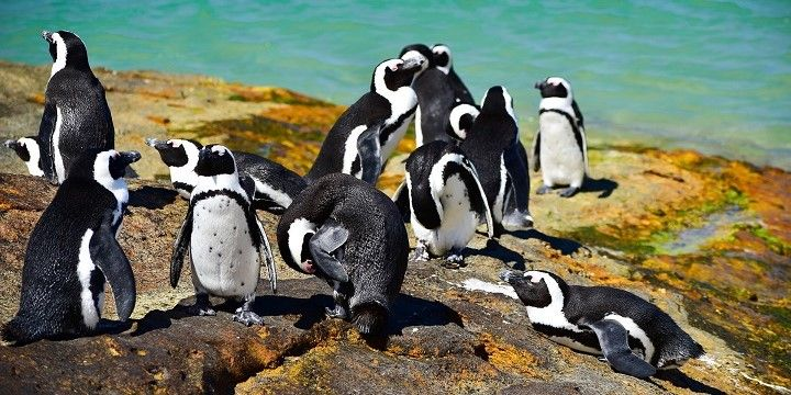 Penguins, Boulder's Beach, South Africa, Africa