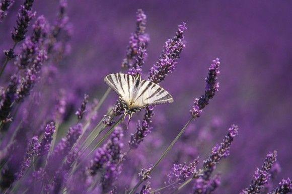 Lavendelernte Wie Man In Der Provence Mit Der Natur Reich