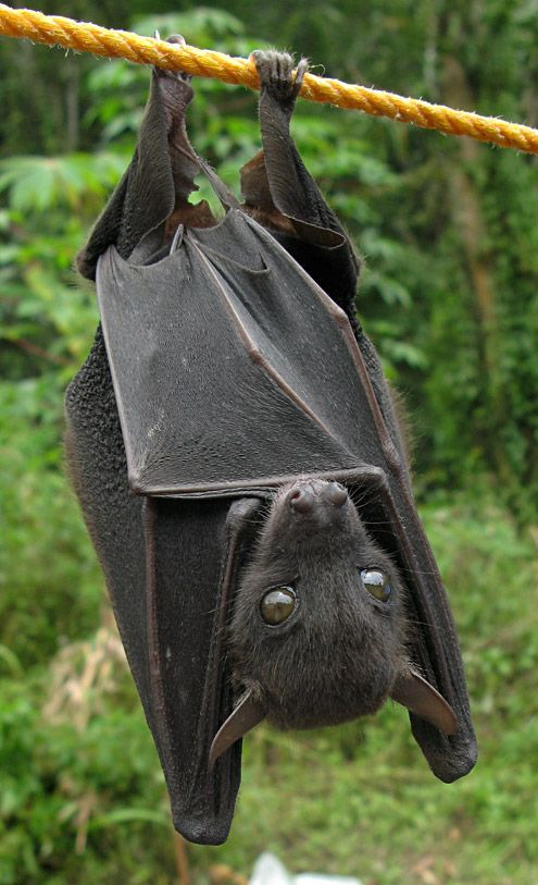 Omg That Face What A Cutie Wish I Could Have A Bat As A Pet オオコウモリ 哺乳類 コウモリ