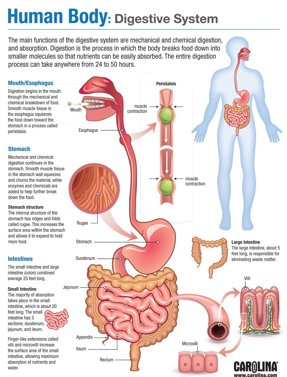 Human Body: Digestive System   Human body anatomy, Human ...