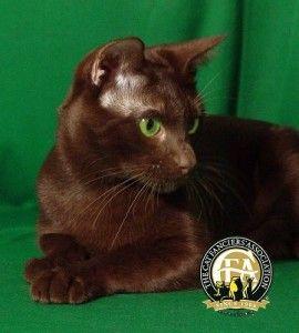 (Image: Cat Fanciers' Association)