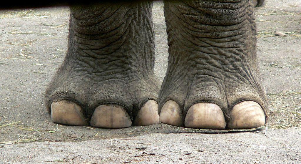 elephant feet images - Google Search | Elephants | Pinterest | Animal