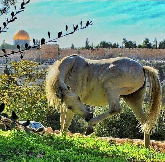 Qubat Al Sakhra Phalastine The Dome Of The Rock Jerusalem Palestine Horses Animals Gorgeous Scenery