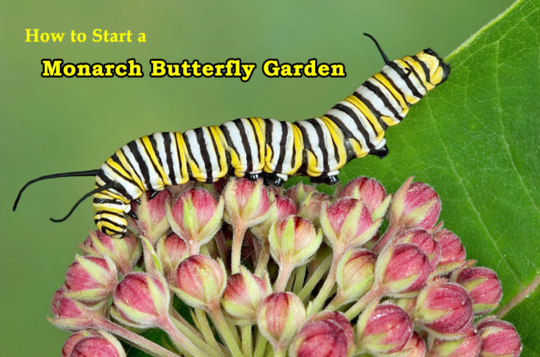 How to Start a Monarch Butterfly Garden at Home is part of Butterfly garden design, Monarch butterfly garden, Raising monarch butterflies, Monarch butterfly, Monarch caterpillar, Butterfly garden - Starting a monarch butterfly garden is an exciting journey that will make your garden flutter with joy while supporting the struggling monarch population
