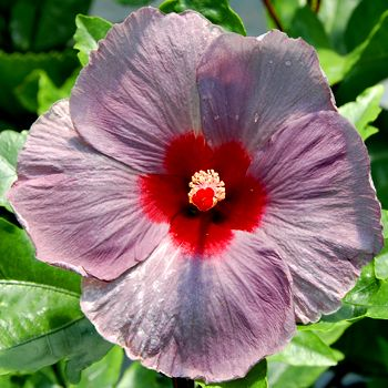 Periwinkle Color Eyes Another Hibiscus Periwinkle Flores Naturais Flores Natural