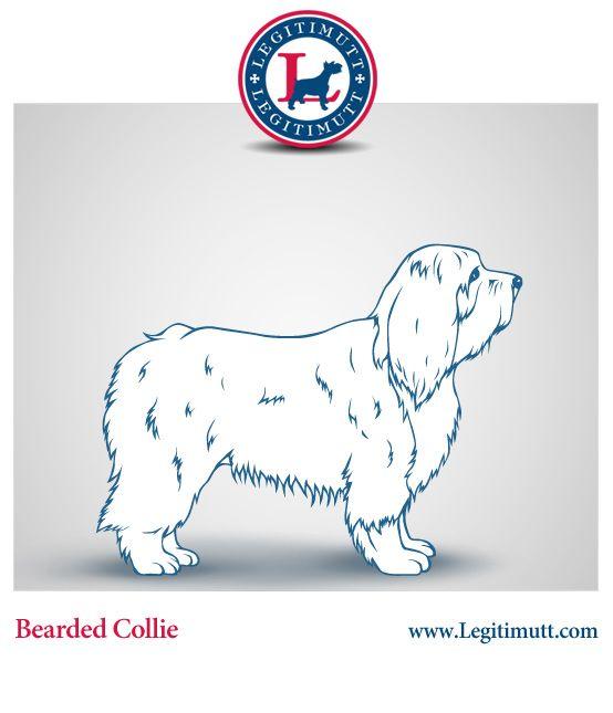 Bearded Collie #dogs #animal