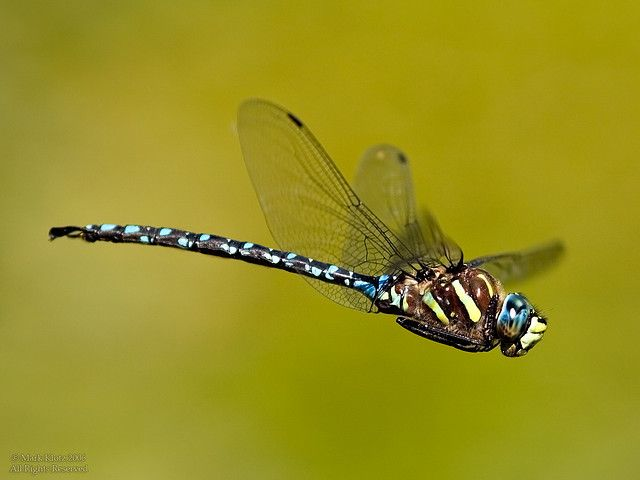 Drangonfly in Flight by Mark Klotz, via Flickr