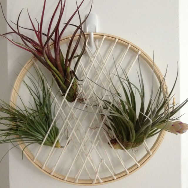 My Take: Air Plant Arrangement Using Embroidery Hoop And