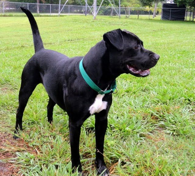 Black Lab Cross Boxer With Images Boxer Dog Pictures Boxer