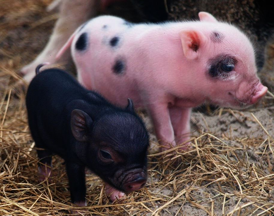 Awesome Pigs For Sale Near Me To Eat Valuable Cute Baby Pigs Cute Piglets Baby Pigs