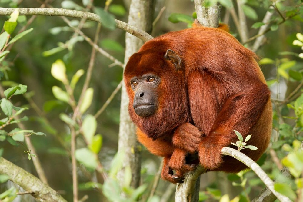 Howler monkeys live almost entirely in the rain forest canopy. Leaves are the main part & Howler monkeys live almost entirely in the rain forest canopy ...