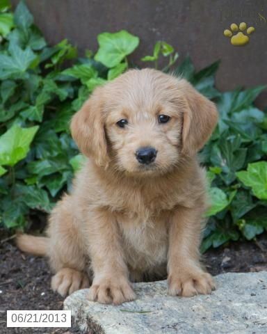 Labradoodle Puppies For Sale In Pa : labradoodle, puppies, Gladys, Labradoodle, Puppy, Coatesville,, Fo…, Puppy,, Puppies