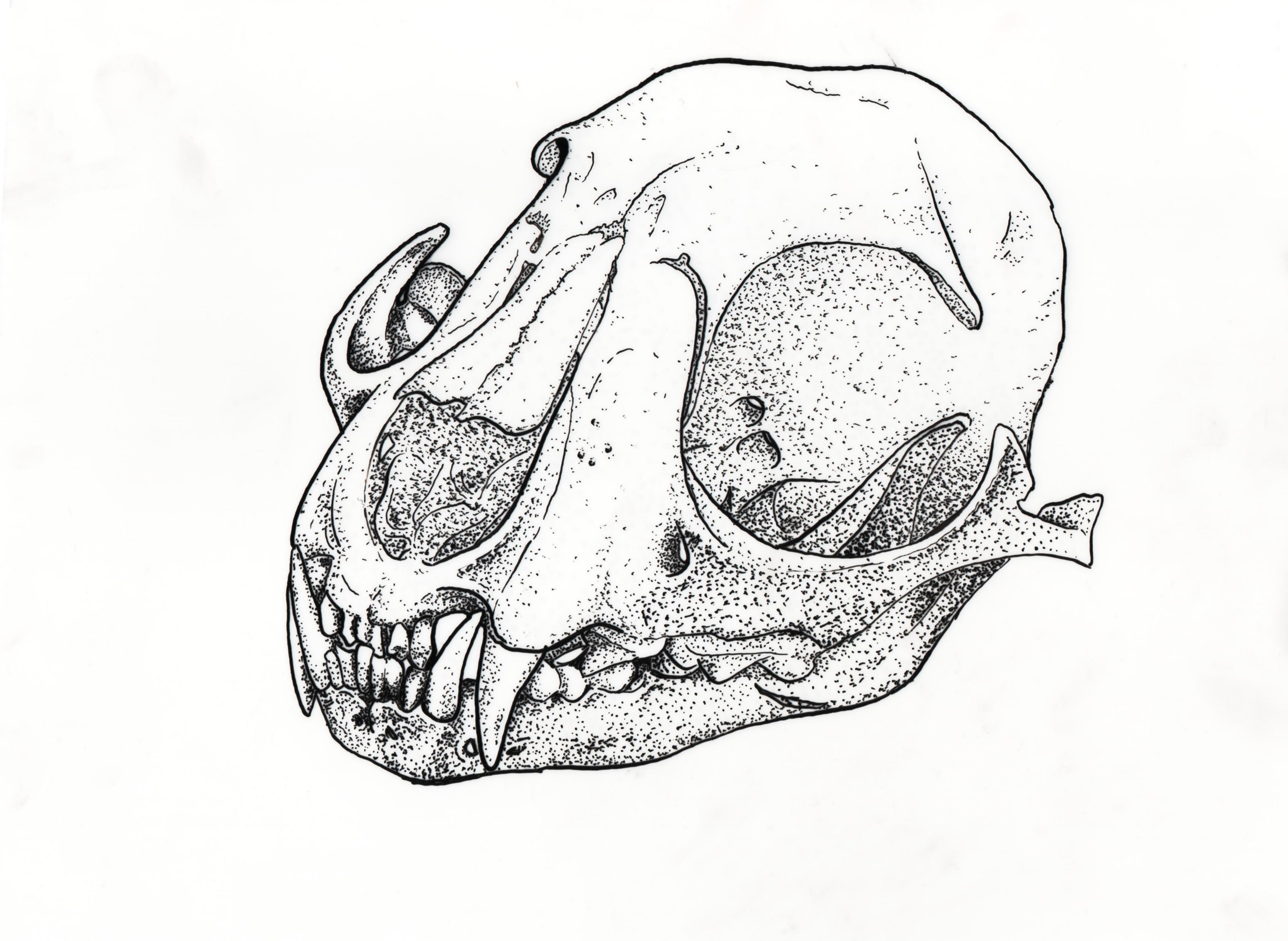 Fox Skull Scientific Illustration Skull Sketch Skull