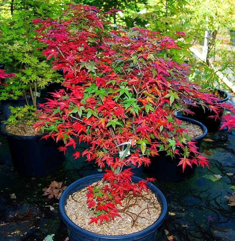 foto de Acer Palmatum 'Shindeshojo' Jardin érable japonais