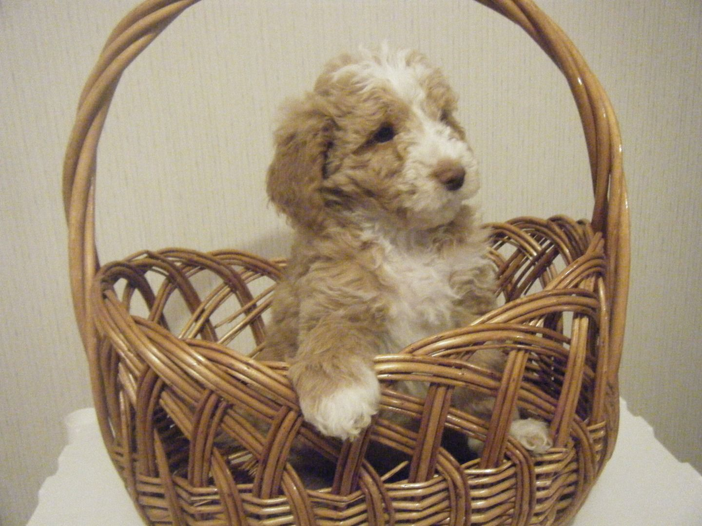 English Goldendoodle puppies. Parti and Flashy Red with