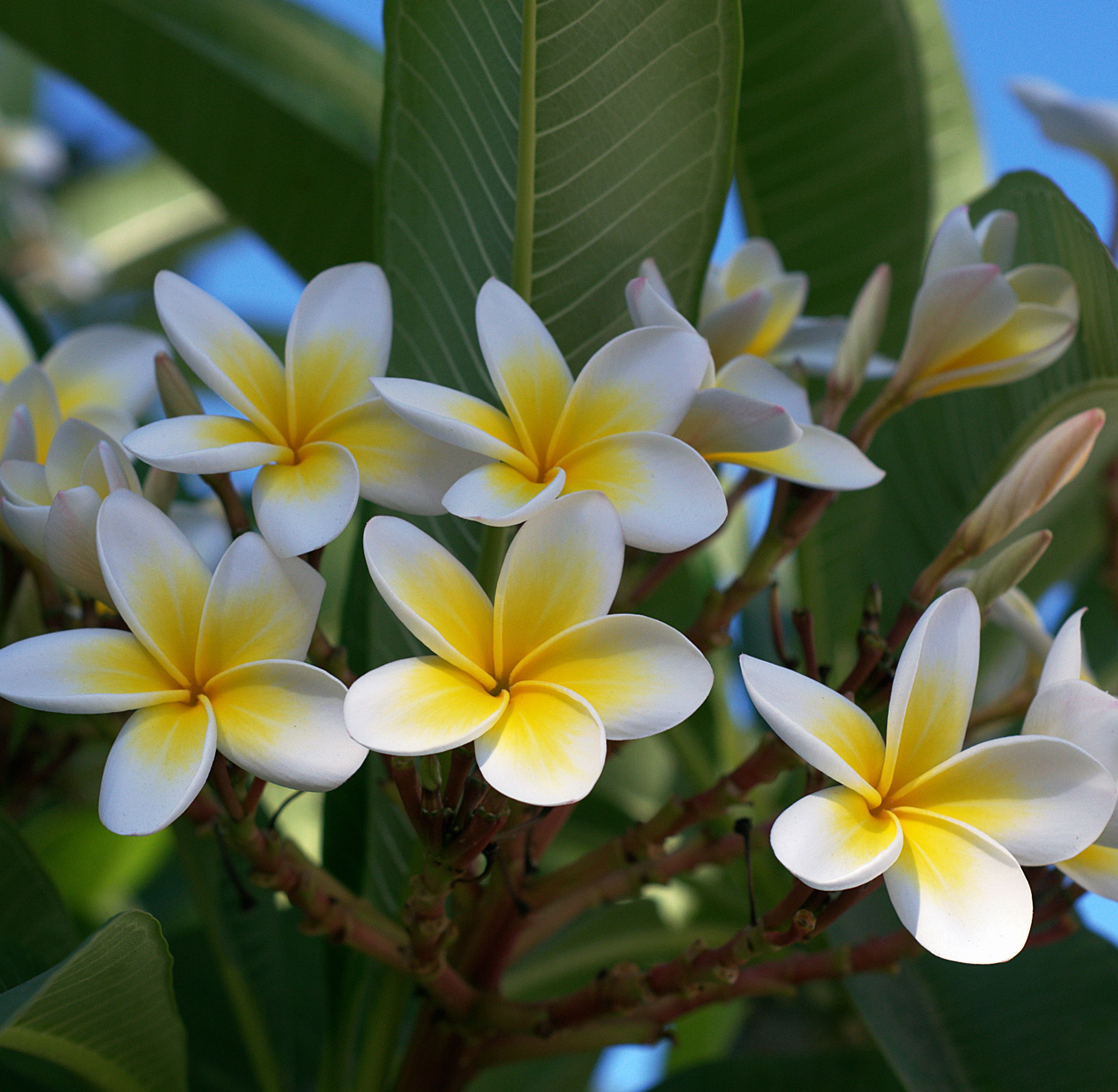 How To Care For Plumerias During The Fall Winter Season Roger S Gardens Plumeria Most Beautiful Flowers Fragrant Flowers