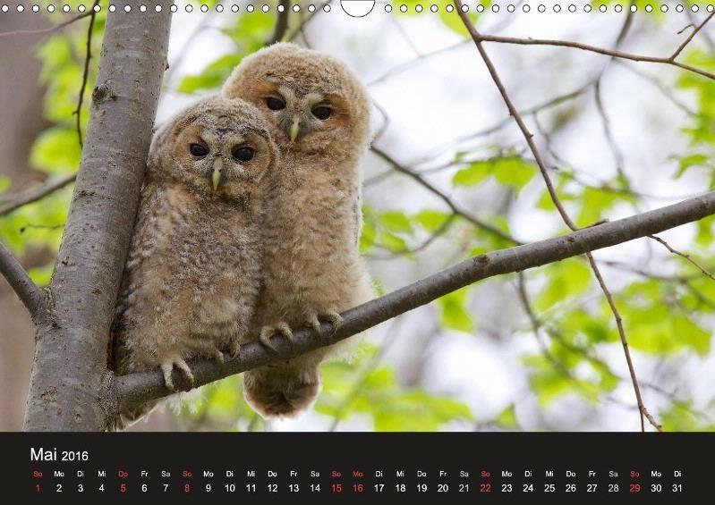 Waldkäuze, fotografiert in München - CALVENDO Kalender von Klaus Buchmann