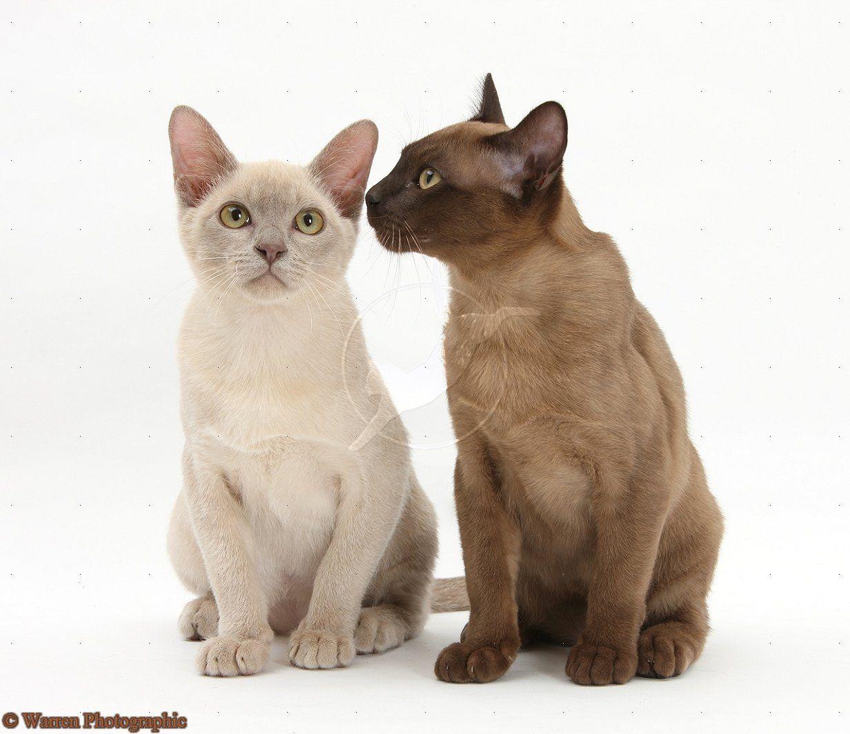 Seal And Cream Burmese Burmese Cat Burmese Kittens Cat Breeds