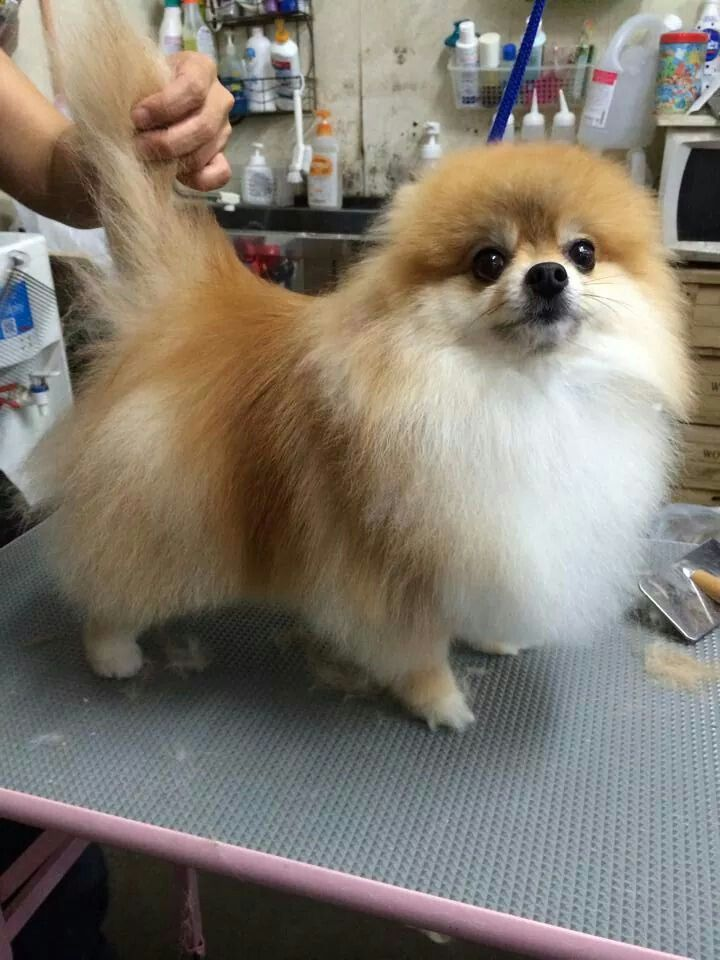 Just Let The Tail Curl Over This Cutie S Back Dog Grooming Tips