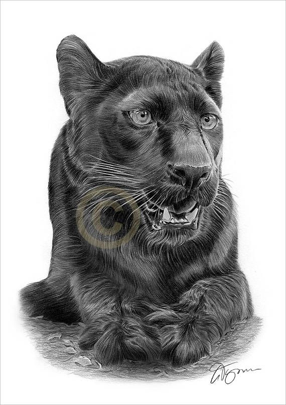 Pencil drawing artwork print of a big cat black panther by uk artist gary tymon original artwork was completed with black and grey watercolour pencil on