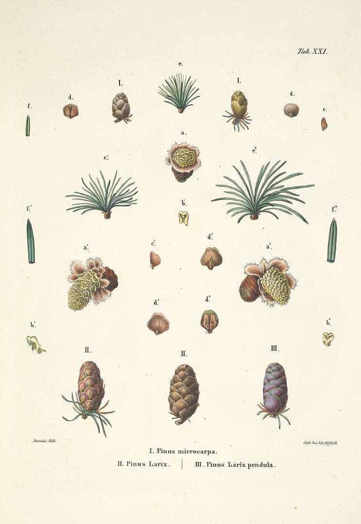48065 Larix laricina (Du Roi) K. Koch [as Pinus microcarpa Lamb ...
