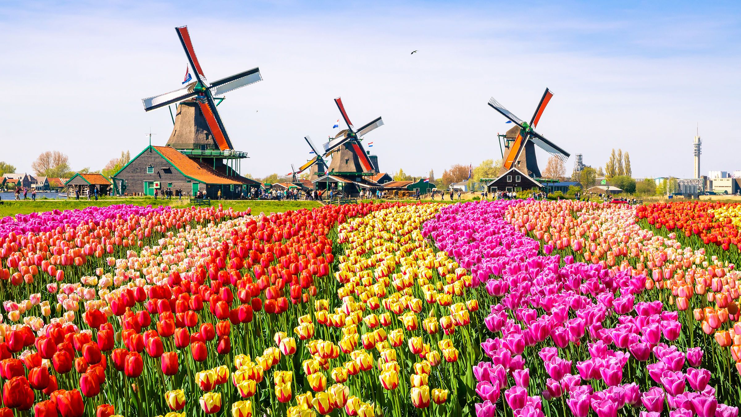 Landscape with tulips traditional dutch windmills and