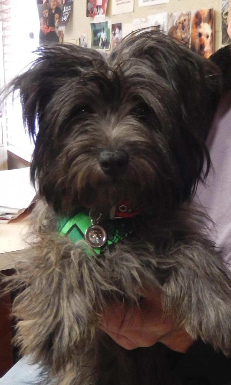 Adopt Juniper On Dog Love Yorkshire Terrier Small Breed